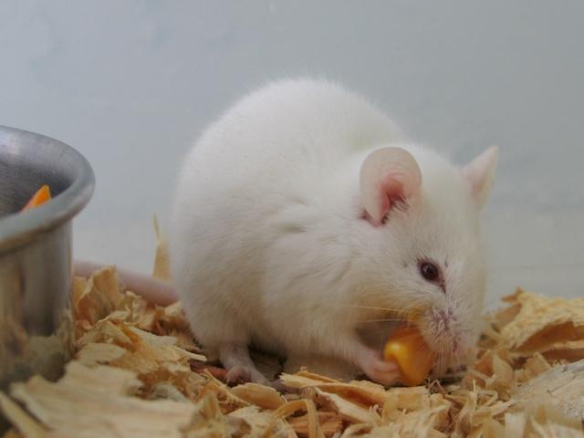 Albino_Mouse